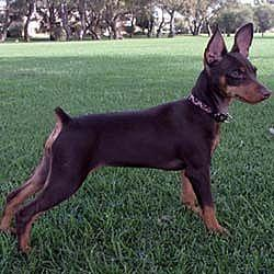 miniaturepinscher.jpg